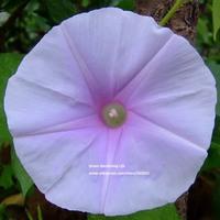 5 pcs White Light Purple Heart Gardening Morning Glory Flower Seeds Bonsai Climbing Plants Trumpet Flower Seed Free shipping