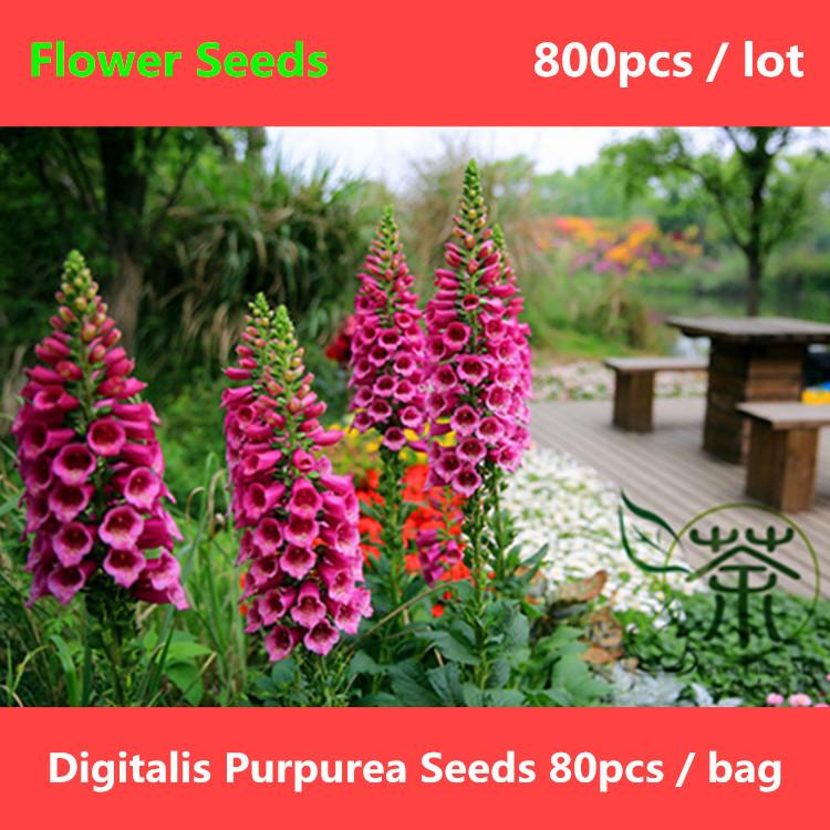 Foxglove plant digitalis