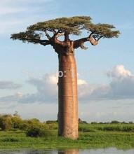 100% Genuine 10 pieces of high-quality rare baobab seeds tropical plant garden seeds free shipping Home & Garden