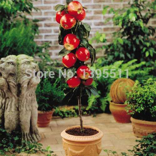 100 pcs Bonsai Apple Tree Seeds rare fruit bonsai tree-- America red delicious apple seeds garden for flower pot planters(China (Mainland))