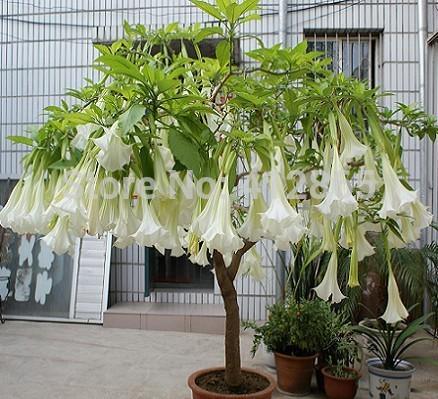Hot selling 25pcs/lot bonsai tree mandala seeds White/Yellow/Pink/ Purple/Black home garden rare flower tree seeds(China (Mainland))
