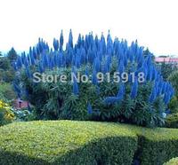 Flower seeds Echium Fastuosum - 200pcs Seeds - Pride Of Madeira Plant! LARGE PACK  Home & Garden