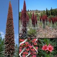 Flower seeds Roter Teide Natternkopf - Echium wildpretii - 100 Samen-seeds - Tower of Jewels Home & Garden