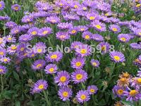 Flower seeds 200 pcs Aster alpinus seeds Bonsai seeds Home & Garden Free shipping
