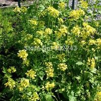 DIY Home Garden Plant 20 Seeds Yellow Mustard Sinapis Alba Seeds Free Shipping