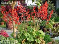 DIY Home Garden Plant 5 Seeds Heuchera Sanguinea Firefly Seeds Free Shipping