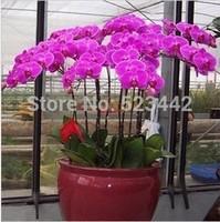 free shipping Quality flower bonsai plant phalaenopsis saplings phalaenopsis orchid seeds -88 pcs