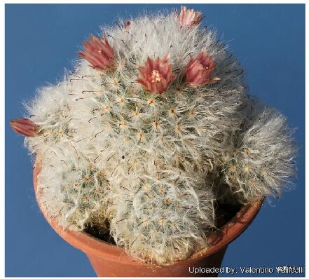 Cactus seeds 20 pieces Mammillaria bocasana white Flower seeds bonsai decoration diy home garden mini pots free shipping(China (Mainland))