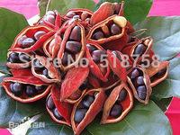 Free Shipping 20pcs Sterculia nobililis Seeds fruit vegetables seeds
