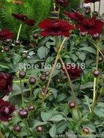 Flower seeds 500pcs Chocolate Cosmos seeds DIY Home Garden flower,Bonsai flower seeds Free Shipping
