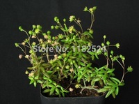 Free Shipping 30+ Fresh Rare Monanthes Alonanthes anagensis Seeds Succulent Plant Seeds