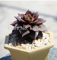 Free Shipping 30+ Fresh Rare Echeveria purpsorum Seeds Succulent Plant Seeds