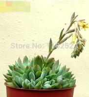 Free Shipping 30+ Fresh Rare Echeveria mebina Seeds Succulent Plant Seeds