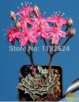 Free Shipping 30+ Fresh Rare Graptopetalum bellum Seeds Succulent Plant Seeds