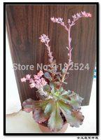 Free Shipping 30+ Fresh Rare Echeveria.cvMeridian Seeds Succulent Plant Seeds