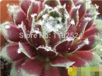 """Free Shipping 30+ Fresh Rare Sempervivum arachnoideum """"Rubrum"""" Seeds Succulent Plant Seeds"""