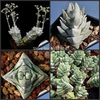 Free Shipping 30+ Rare Crassula deceptor Seeds Succulent Plant Seeds