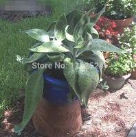 Free Shipping 30+ Fresh Rare Kalanchoe gastonis bonnieri Seeds Succulent Plant Seeds
