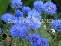 Garden balcony flowers and seeds blue cornflower Hua Xianzi seed