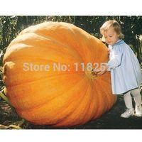 30+ Dills Atlantic Giant Pumpkin Seeds Garden Seeds