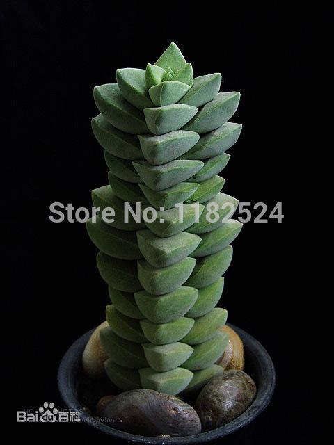 Free Shipping 30+ Fresh Rare Bonsai Crassula argentea Seeds Succulent Plant Seeds(China (Mainland))