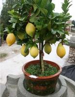100 pcs/bag, Lemon seeds, Balcony patio potted fruit trees planted seeds,