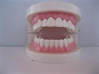 Free Shipping Dental Study Model for Student