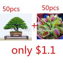 2 popular bonsai seeds 50pieces japanese pine tree  Bonsai plants Seeds for home & garden