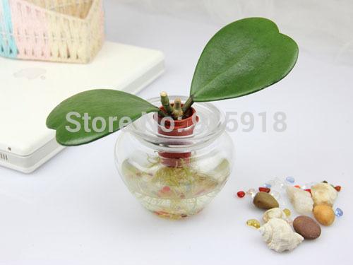 Карликовое дерево Seeds001 20 kerrii flower seeds001 карликовое дерево flower seeds 100 multi butterfly