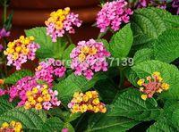 New New Home Garden Plant 30 Seeds Colorful Assorted Lantana camara Spanish Flag Flower Seeds Free Shipping