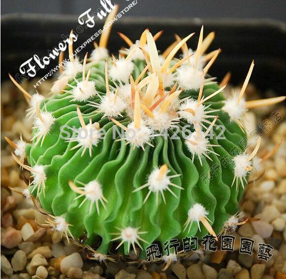 Stenocactus Multicostatus 20 seeds star shape mini cactus plants bonsai semillas succulent seeds for home garden bonsai(China (Mainland))
