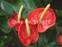Flower Bonsai seeds 100 pcs Mix  Anthurium seeds DIY Home Garden Supplies Bonsai Free shipping