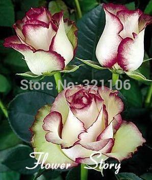 Free Shipping 20 Swept Away Rose Seeds --Fire & Ice Rose ,Beautiful DIY Home Garden Flower(China (Mainland))
