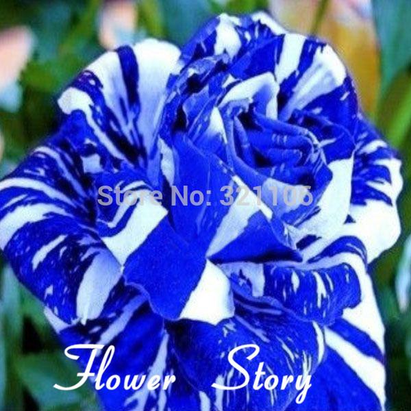 Free Shipping 20 Blue Dragon Rose Seeds ,Rare beautiful stripe rose bush plant,garden or yard flower(China (Mainland))