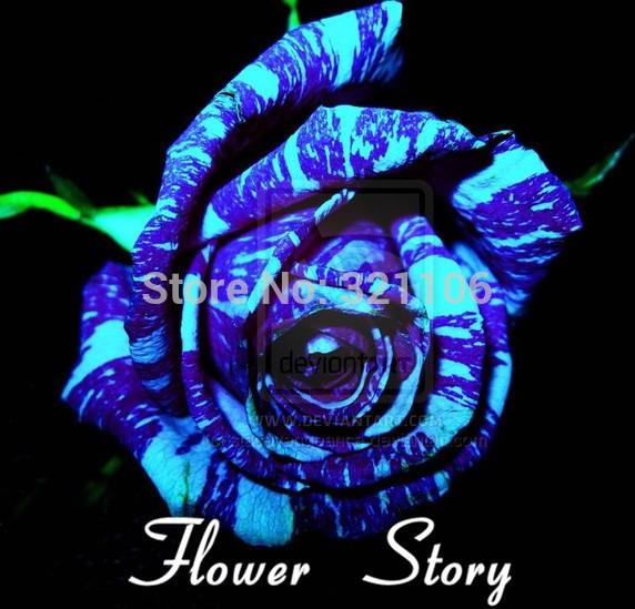 Free Shipping 20 Blue Dragon Rose Seeds Rare beautiful stripe rose bush plant garden or yard