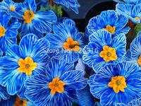 100pcs / lot multicolor European primrose seeds Primula acaulis hybrid bright colors landscaping balcony garden flower seeds