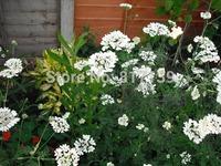 New Home Garden Bonsai Plant 200 Seeds Bishop's Flower Ammi Majus Flower Seeds Free Shipping