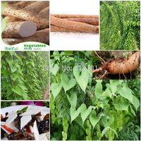 12 pcs Yam seeds, 10 pcs per Vegetable seeds Fruit Lycopersicon Esculentum Anti aging Yam bean seeds Free shipping
