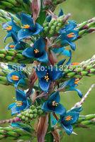 Free Shipping 30pcs Puya Berteroana Huge Flowerheads of Turquoise Blue Flower Seeds