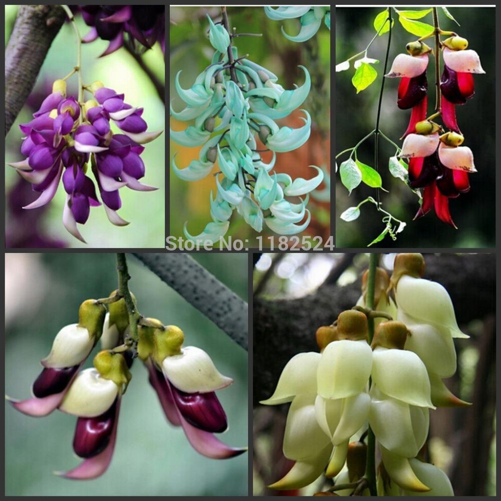 mucuna #free transporte birdwoodiana sementes 30 pcs plantas exóticas pássaro sementes flores o plantio de jardim flores raras romance plantar sementes(China (Mainland))
