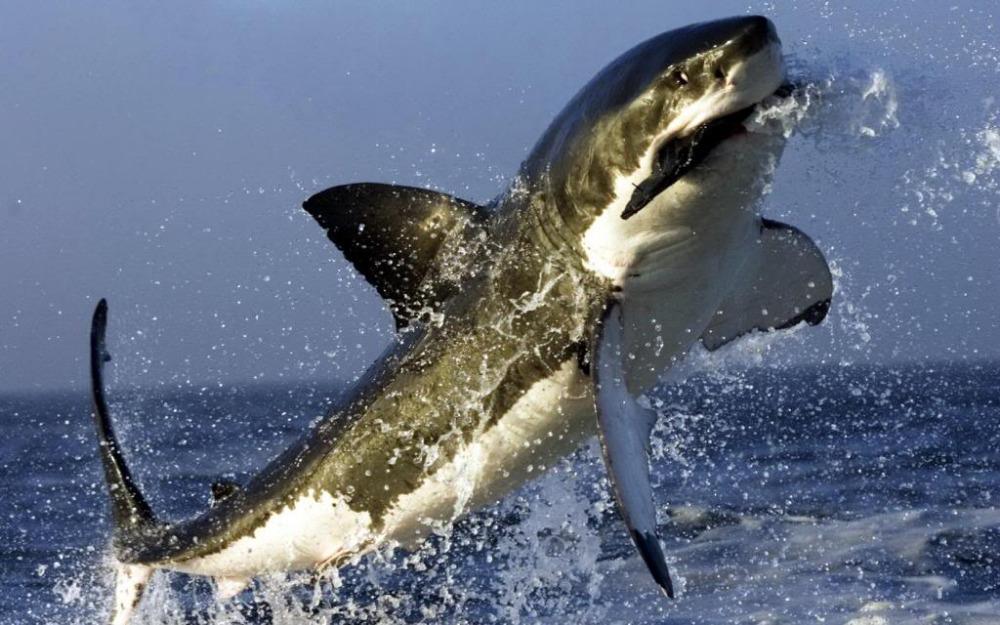 Shark Eating Seal Drawing Great White Shark Hunting Seal