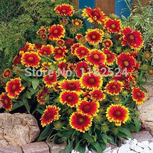 Free shipping 100 gaillardia goblin sun worshiper high heat tolerant flower plant - Heat tolerant plants keeping gardens alive ...