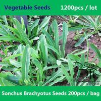 Qu Mai Cai Sonchus Brachyotus Seeds 1200pcs, Health Care Qu Ma Cai Vegetable Seeds, Perennial Herbs Field Sowthistle Herb Seeds
