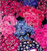 Flower Bonsai seeds 30pcs/bag Senecio crunyus flower seeds chrysanthemum seed,Free shipping !