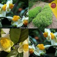 Wholesale - -500 CAMELLIA sinensis Green Tea Seeds Fresh Fragrant
