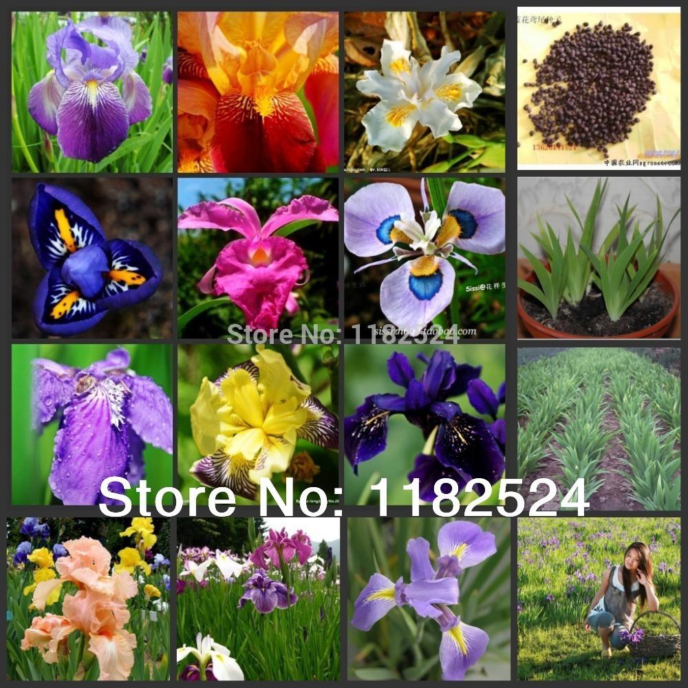 free Shipping 100 Mix-color Flag Iris Seeds - Bonsai Butterfly Phalaenopsis Amabilis Flower Plant Seeds(China (Mainland))