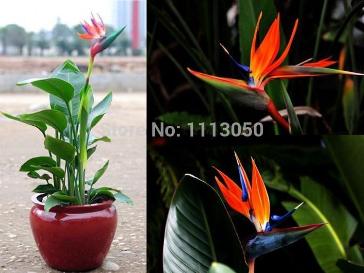 100pcs pack Flower pots planters Strelitzia reginae seeds hybrid bird paradise seed Bonsai plants Seeds for