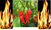 Bonsai vegetable seeds 50pcs seeds Red Bhut Jolokia Seeds Ghost Pepper Naga Jolokia HOT Chilli *900K-1.1M+ SHUS-Free shipping!