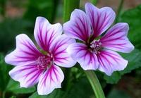 Malva sinensis Flower Seeds,1pcs/lot(30 seeds),Bonsai Seeds,Spring is easy to grow