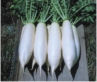 White cylindrical radish seed vegetables seeds,1pcs/lot(100seeds),Bonsai Seeds,Garden nutritious fruits  planting